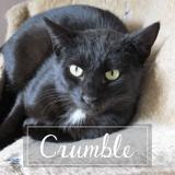 Crumble, Chat européen à adopter