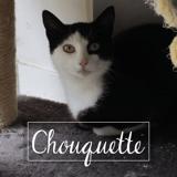 Chouquette, Chat européen à adopter
