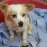 Puchi, Chien chihuahua à adopter
