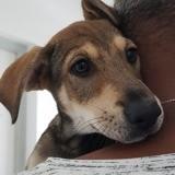 Kiera, chiot femelle croisée non lof, Chiot à adopter