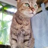 Lyanna, Chat européen à adopter