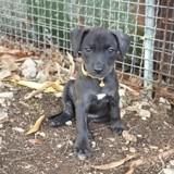 Poupsy, chiot femelle créole, Chiot à adopter