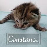 Constance, Chaton européen à adopter