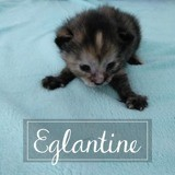 Eglantine, Chaton européen à adopter