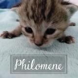Philomene, Chaton européen à adopter