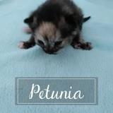 Petunia, Chaton européen à adopter