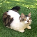 Pavot chat tigré/blanc de 3 ans 1/2, Chat à adopter