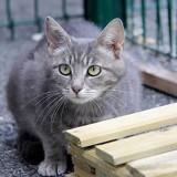 Ester femelle tigré/gris de 1 an, Chat à adopter