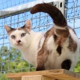 Claude, Chat snowshoe, européen à adopter