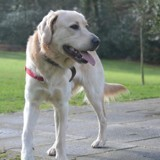Archie, Chien golden retriever à adopter