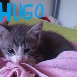 Hugo, Chaton à adopter