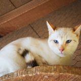 Ophélie, Chat à adopter