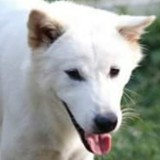 Ayo, Chien berger blanc suisse à adopter