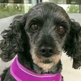 Peggy, Chien caniche à adopter