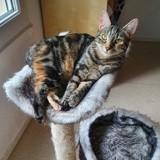 Praline, Chat européen à adopter