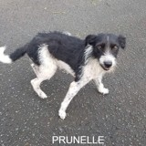 Prunelle, Chiot à adopter