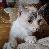Prunille, Chat à adopter