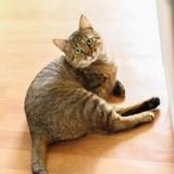 Lynx, Chat à adopter