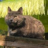 Minette, Chat européen à adopter