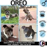 Oreo (croisé staffie), Chien staffordshire bull terrier à adopter