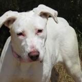 Bianca, Chiot berger blanc suisse, labrador retriever à adopter