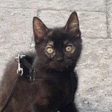 Colombine, Chaton européen à adopter