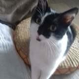 Luna, Chat européen à adopter