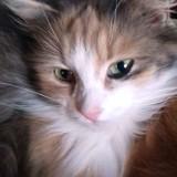 Friskies, Chat angora turc, européen à adopter