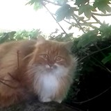 Janis, Chat angora turc, européen à adopter