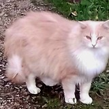 O'malley, Chat angora turc, européen à adopter