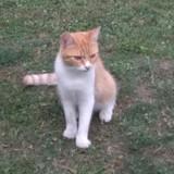 Oliver, Chat européen à adopter