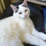 Hoshi, Chat angora turc, européen à adopter