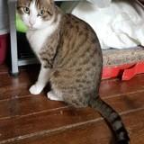 Zeytoun, Chat européen à adopter