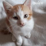 Pulco, Chaton européen à adopter
