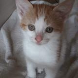 Paprika, Chaton européen à adopter