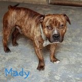 Mady, Chien american staffordshire terrier à adopter