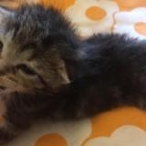 Prisca, Chaton à adopter