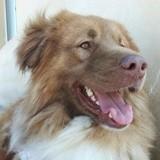 Aslan (croisé), Chien berger australien à adopter