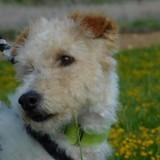 Yéti (croisé), Chien fox-terrier à adopter