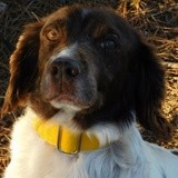 Tiki, Chien Épagneul breton à adopter