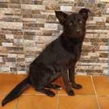 Lobita, Chiot berger portugais, chien courant espagnol à adopter