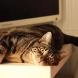 Scaby, un fort ronronnneur ( à réserver ), Chat à adopter