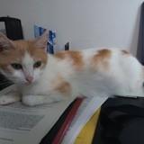 Taranys, Chat européen à adopter