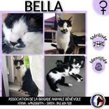 Bella, Chat européen à adopter