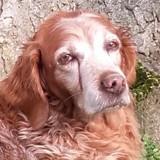 Aline, Chien Épagneul breton à adopter