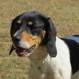 Bigoo, Chien beagle à adopter