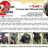 Cadi, Chiot border collie, golden retriever à adopter
