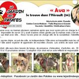 Ava, Chiot berger belge, golden retriever à adopter