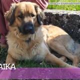 Maïka, Chien bouvier bernois, terre-neuve à adopter