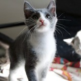 Praline, Chaton européen à adopter
